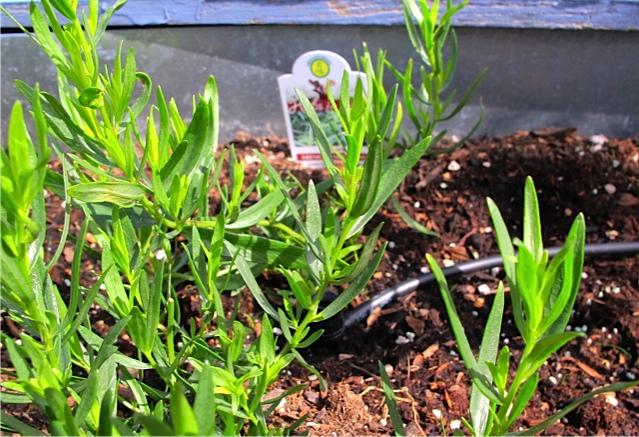 Fresh Tarragon From My Garden